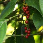 Poivre de Penja rouge frais 50 gr